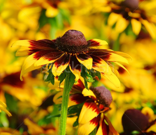 15 çiçekler göz doğa yaz turuncu Stok fotoğraf © LianeM