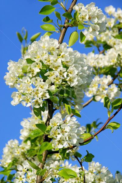 flowering of pear tree 29 Stock photo © LianeM