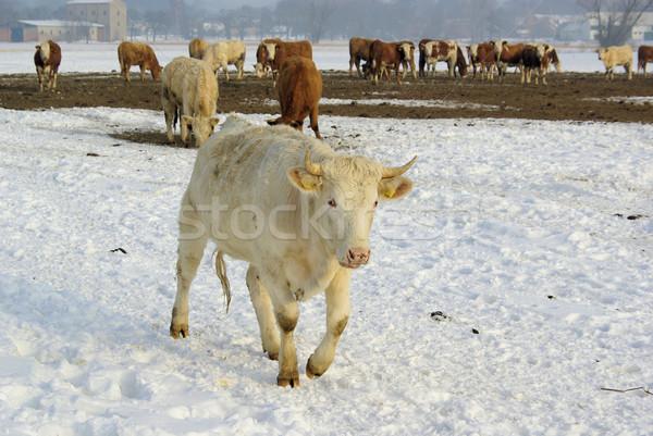 cow 38 Stock photo © LianeM