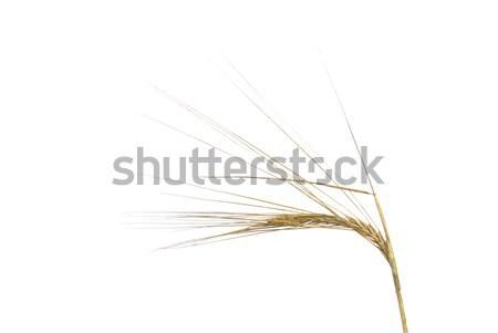 Gerst voedsel gras natuur oor landbouw Stockfoto © LianeM