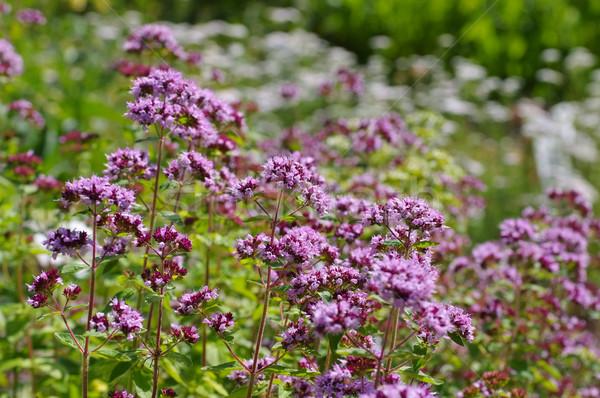 Oregano populair Spice plant zomer Stockfoto © LianeM
