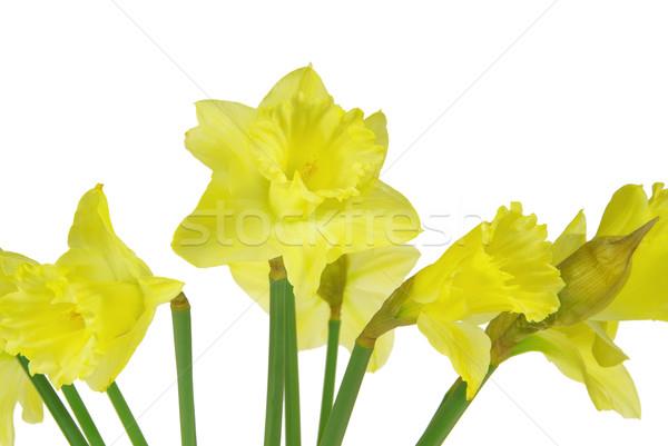 Daffodil белый зеленый красивой желтый макроса Сток-фото © LianeM