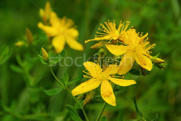 22 kwiat medycznych liści pozostawia herbaty Zdjęcia stock © LianeM