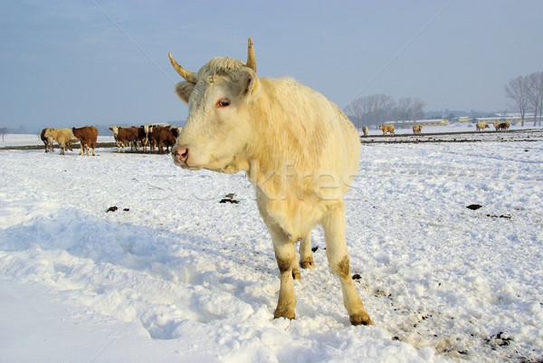 cow 45 Stock photo © LianeM