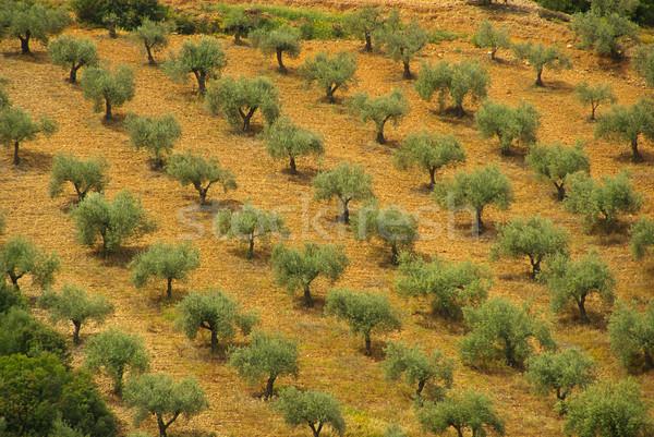 Olajfa fa tájkép zöld növény olajbogyó Stock fotó © LianeM