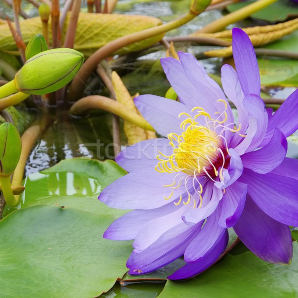 Seerose - water lily 44 Stock photo © LianeM