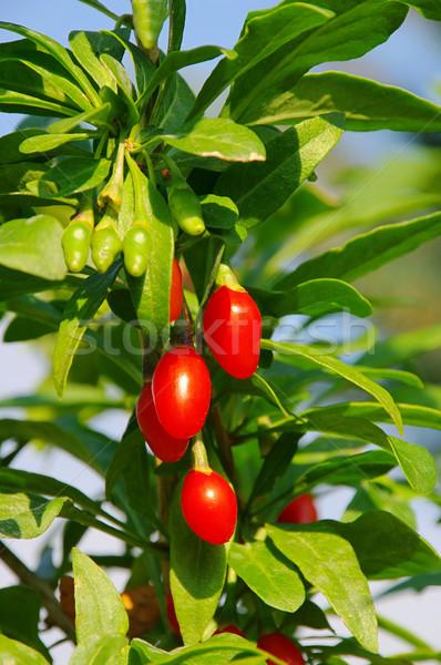 goji berry 01 Stock photo © LianeM