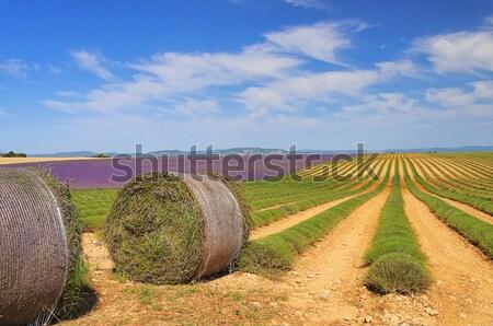 ラベンダー畑 収穫 空 花 美 夏 ストックフォト © LianeM