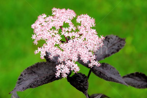 Mais velho flor 22 verde vermelho preto Foto stock © LianeM