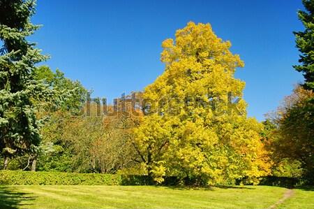 Zdjęcia stock: Klon · niebo · drzewo · charakter · świetle · górskich