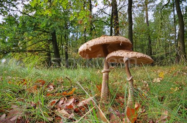Сток-фото: зонтик · гриб · 22 · древесины · лес · завода