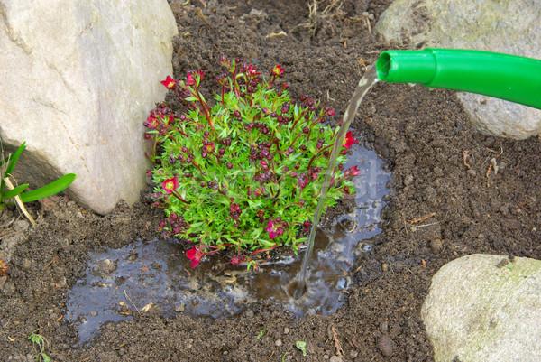planting a saxifraga bryoides 08 Stock photo © LianeM