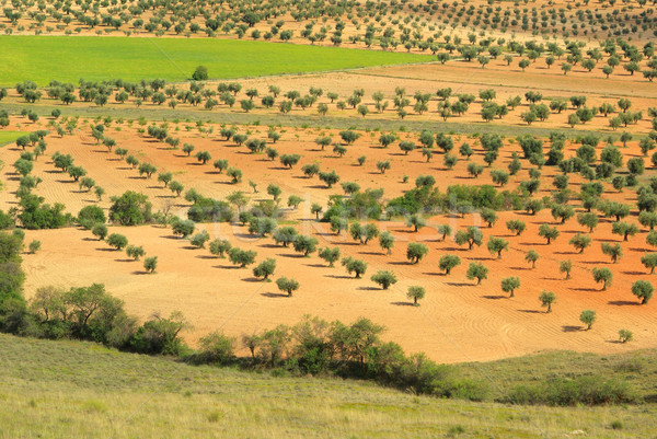 De oliva arboleda 17 árbol árboles plantas Foto stock © LianeM