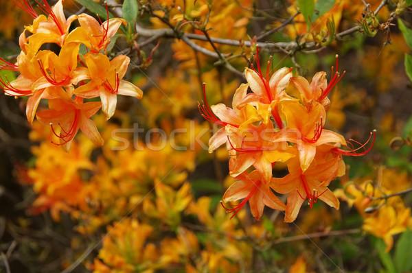 azalea in orange colours Stock photo © LianeM