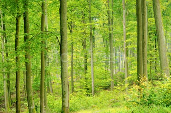 beech forest in fall 07 Stock photo © LianeM