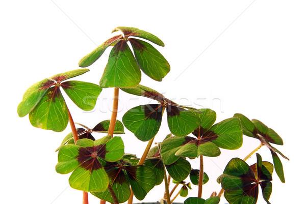 four leafed clover 16 Stock photo © LianeM