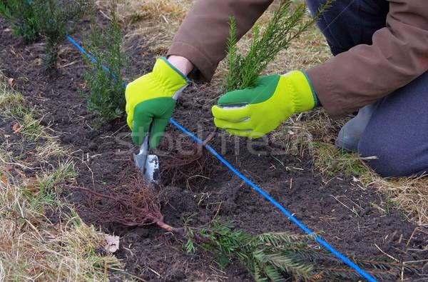 planting a taxus hedge  Stock photo © LianeM