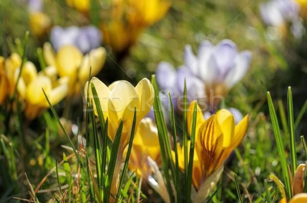 Crocus primavera giardino impianto rosa prato Foto d'archivio © LianeM