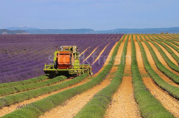 lavender field harvest 04 Stock photo © LianeM