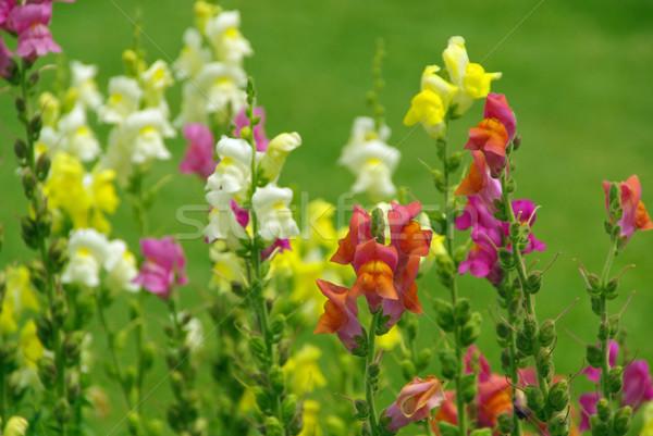 13 parque blanco rosa amarillo púrpura Foto stock © LianeM
