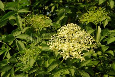 Holunder Blume 14 grünen Stock foto © LianeM