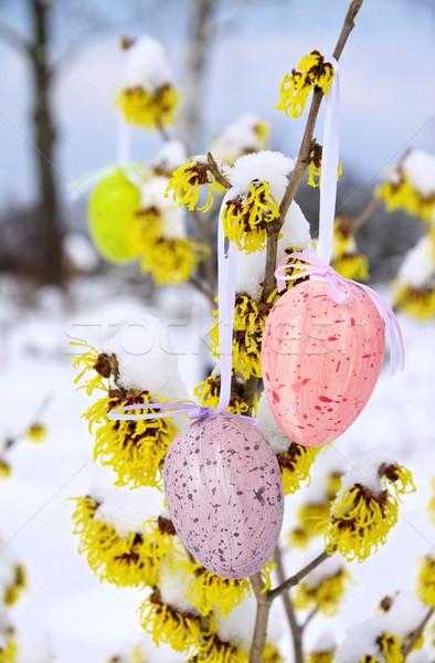 Arbusto Pasqua tempo fiore neve giardino Foto d'archivio © LianeM