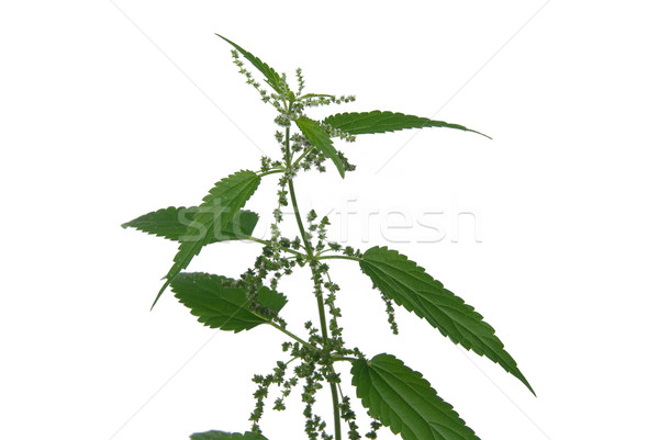 nettle 08 Stock photo © LianeM