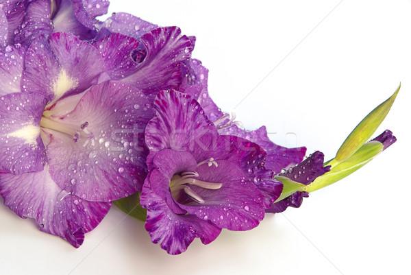 Gladiole - gladiolus 02 Stock photo © LianeM