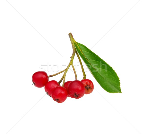chokeberry red 01 Stock photo © LianeM