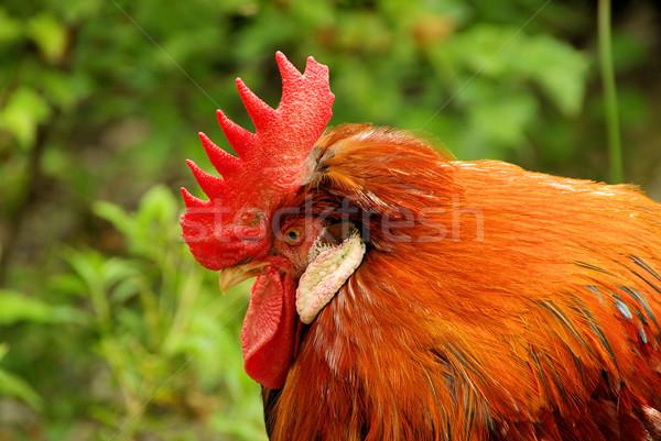 cock 02 Stock photo © LianeM