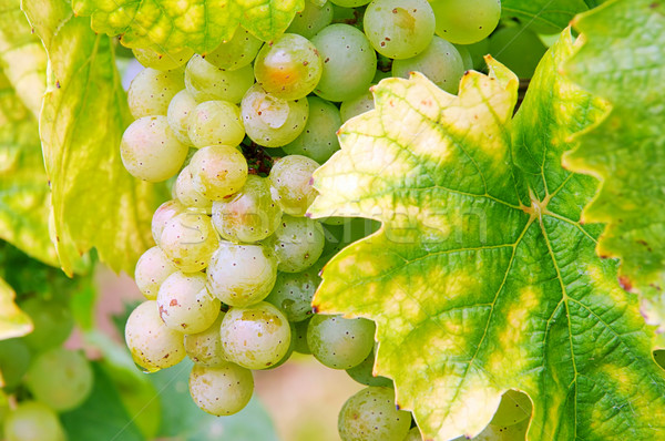 ブドウ 白 フルーツ 背景 緑 工場 ストックフォト © LianeM