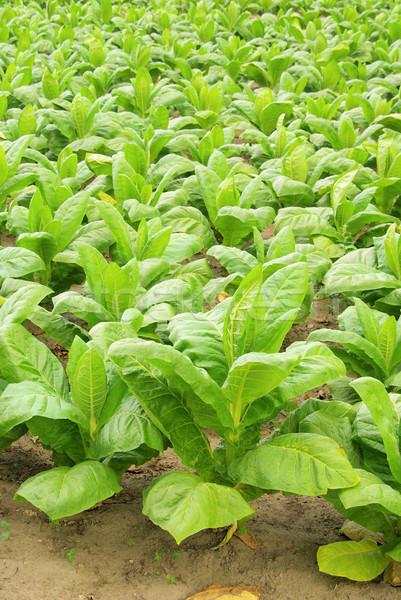 Bewerkt tabak 30 blad veld Stockfoto © LianeM