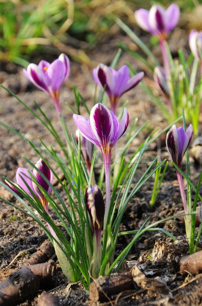 Crocus  Stock photo © LianeM