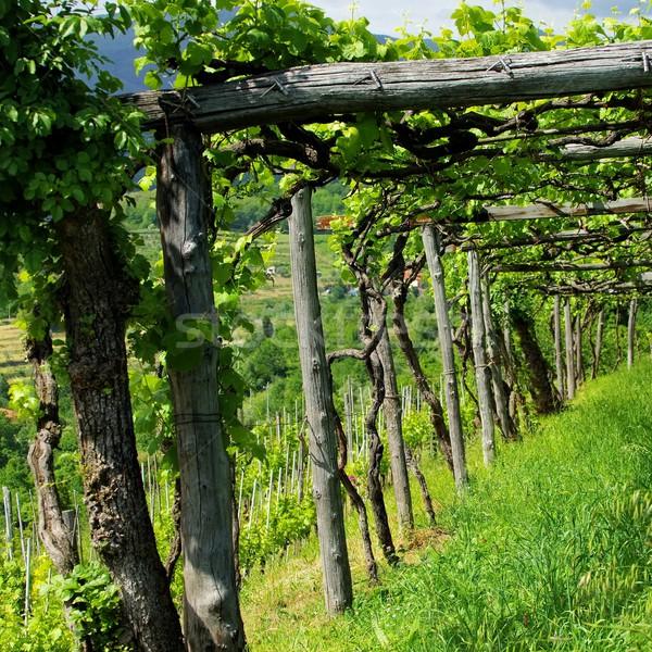 Liguria vineyard  Stock photo © LianeM