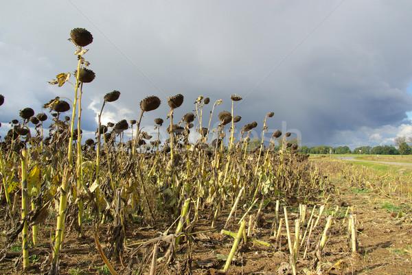 Girassol campo seca céu flor sol Foto stock © LianeM