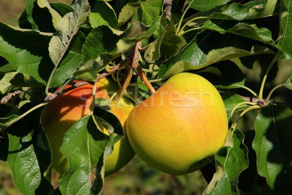 Stockfoto: Appelboom · 30 · boom · voedsel · blad · tuin