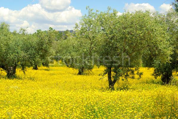 Legelő olajfa fa olajbogyó citromsárga Stock fotó © LianeM
