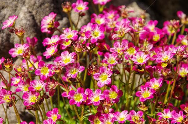 mossy saxifrage, Saxifraga bryoides in spring Stock photo © LianeM