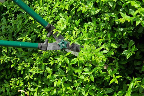 cut a hedge 05 Stock photo © LianeM