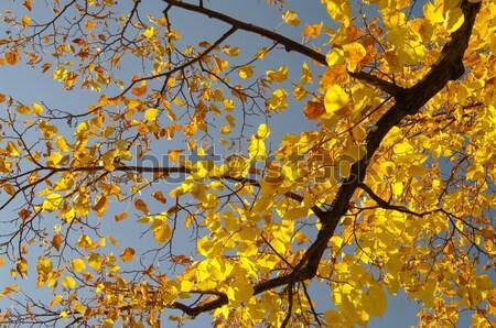 lime tree in fall 01 Stock photo © LianeM