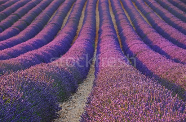 lavender field 31 Stock photo © LianeM