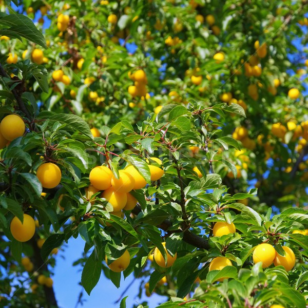 Albero natura frutta estate verde Foto d'archivio © LianeM