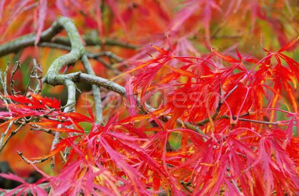 Acer palmatum  Stock photo © LianeM