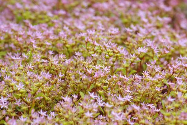 Caucasian stonecrop, Sedum spurium Stock photo © LianeM