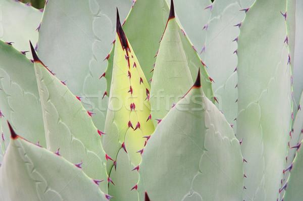 Agave verde Foto d'archivio © LianeM