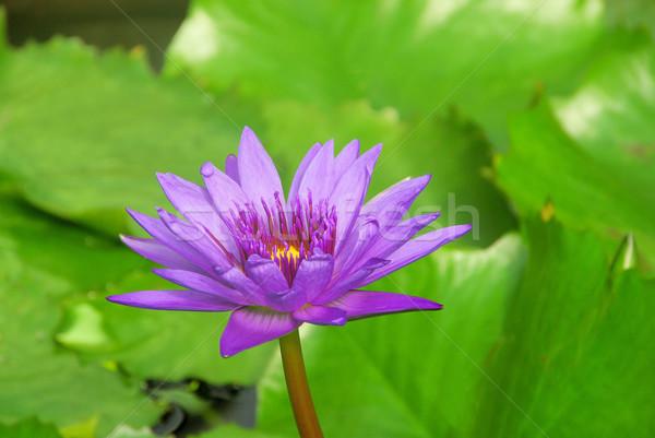 water lily 24 Stock photo © LianeM