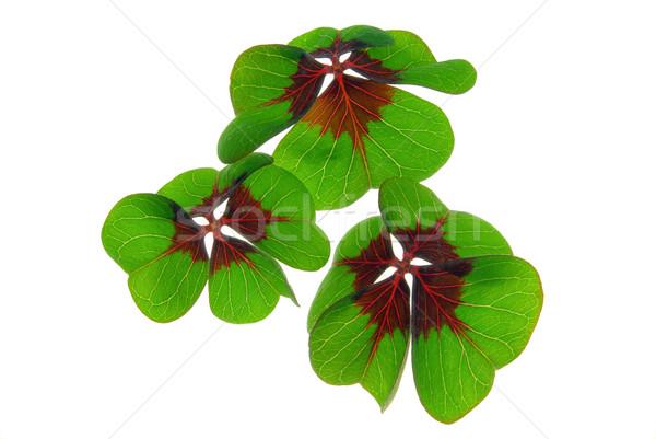 four leafed clover 27 Stock photo © LianeM