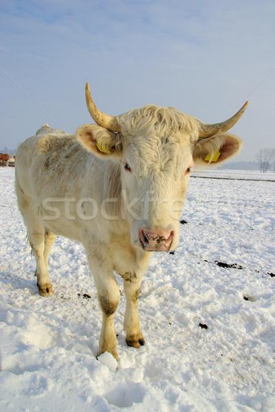 cow 50 Stock photo © LianeM