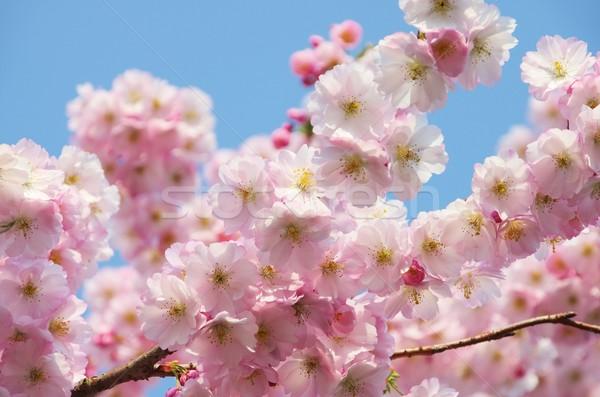 Kersenbloesem voorjaar natuur blad tuin achtergrond Stockfoto © LianeM