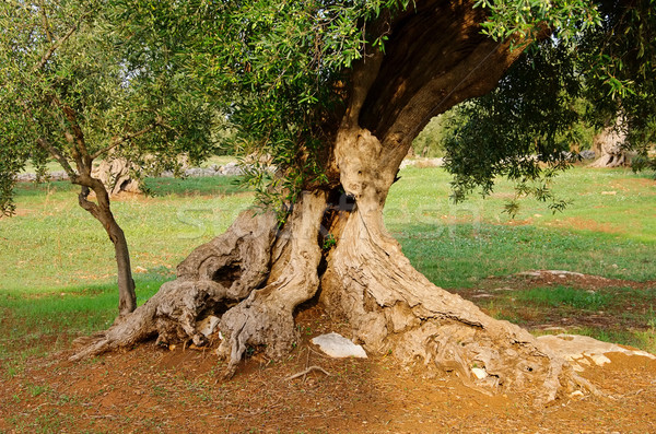 Olijfboom 17 boom hout natuur bladeren Stockfoto © LianeM